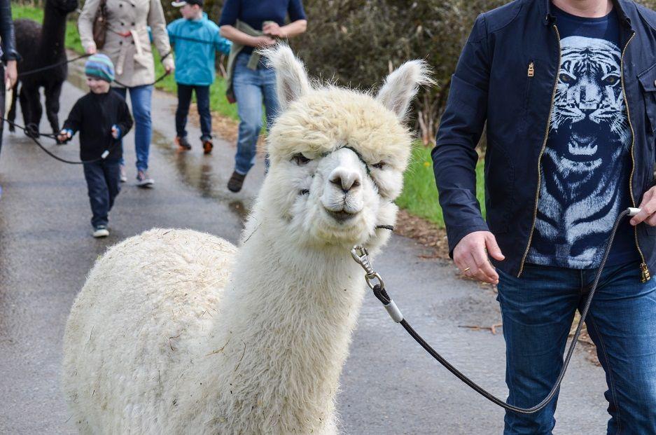 Spazieren mit alpakas schwäbische alb
