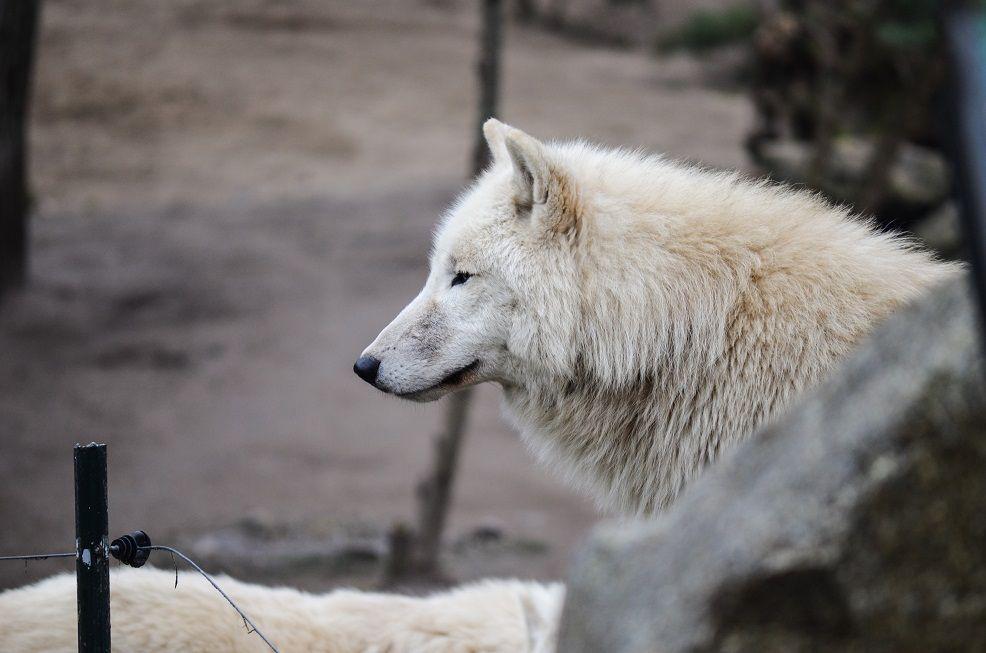 weißer Wolf im Zoo Berlin