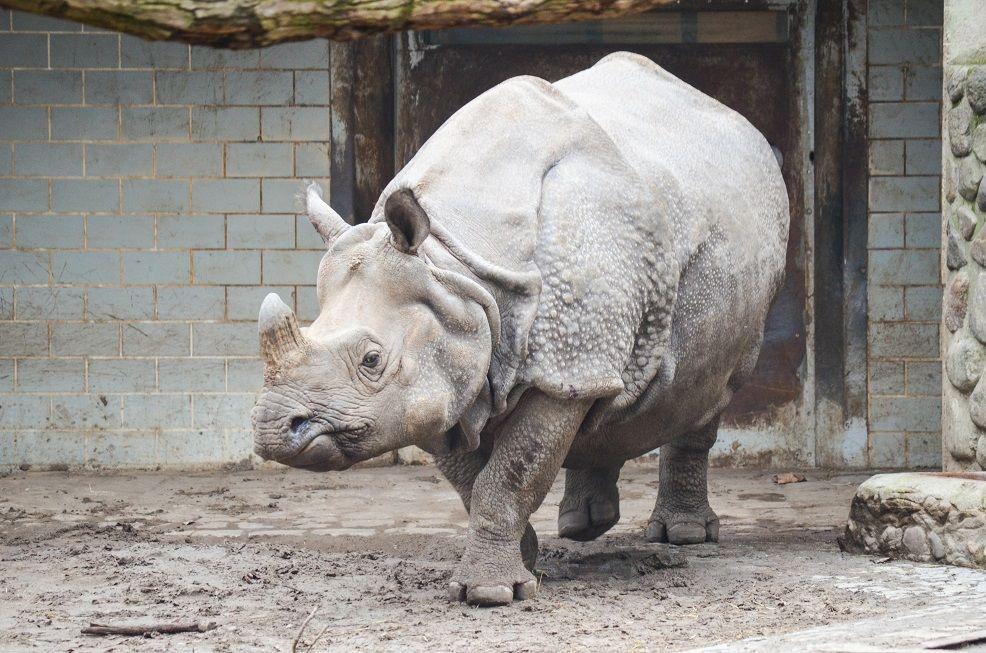 Berliner Zoo Nashorn