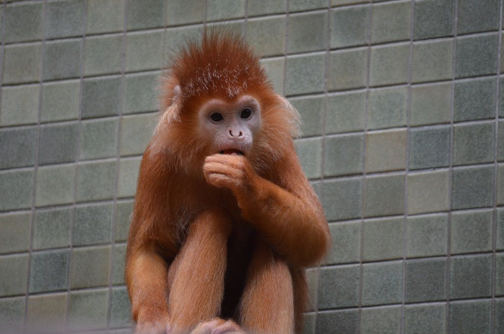 Affe im Berliner Zoo