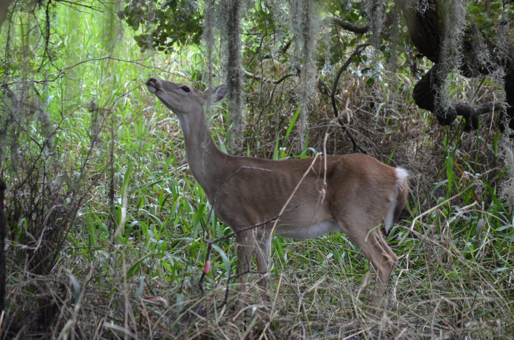 Tiere im Myakka River State Park