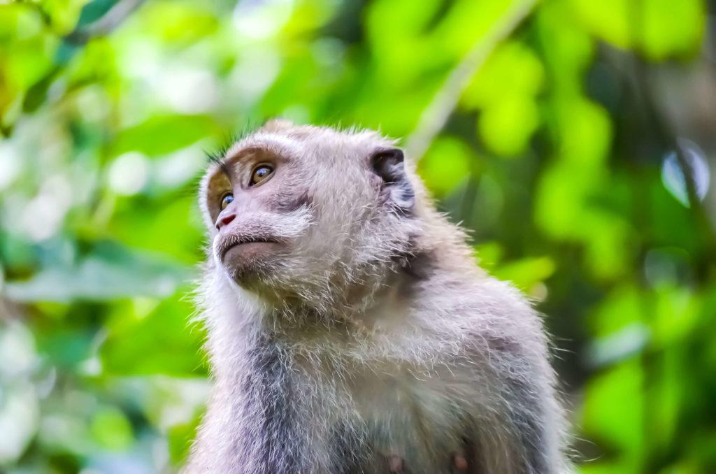 kleiner Affe im Monkey Forest in Ubud Bali