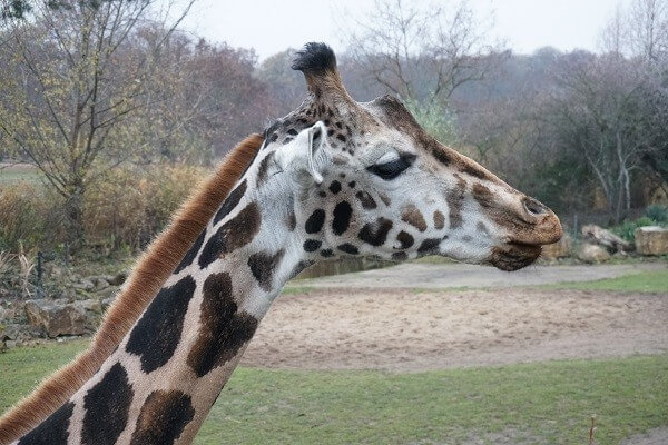 Sehenswürdigkeiten in Leipzig - Giraffe Zoo Leipzig