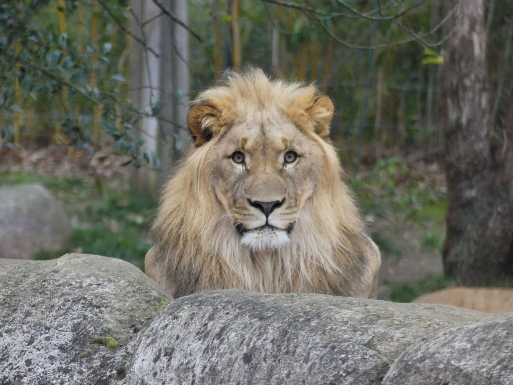Löwe in seinem Gehege im Leipziger Zoo