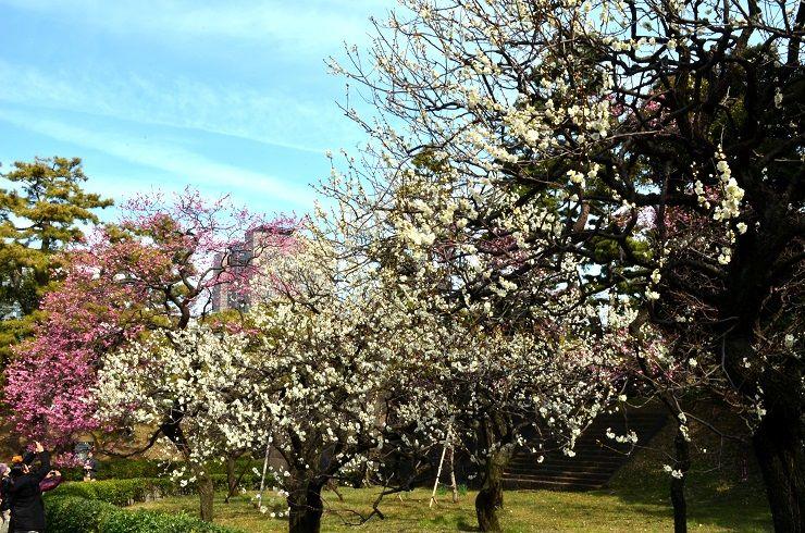Aprikosenblüte Kaiserpalast Tokio