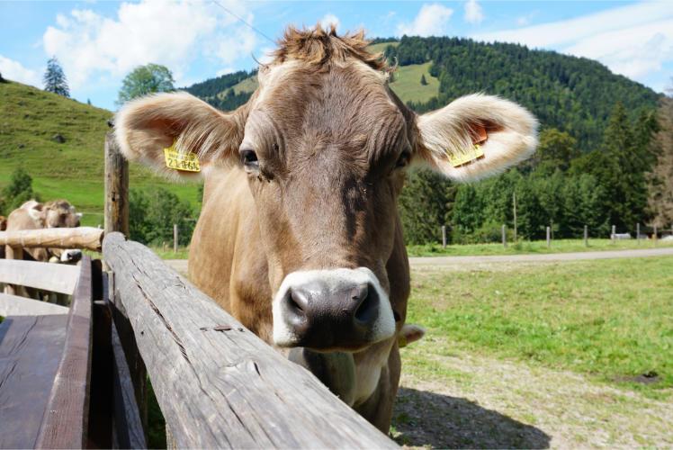 Kuh im Allgäu Hochgrat Wanderung